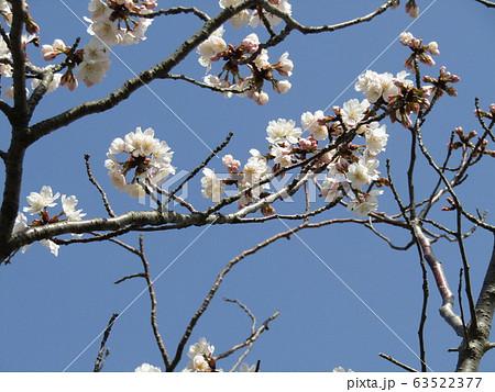 咲き始めた白い桜はオオシマザクラ 63522377