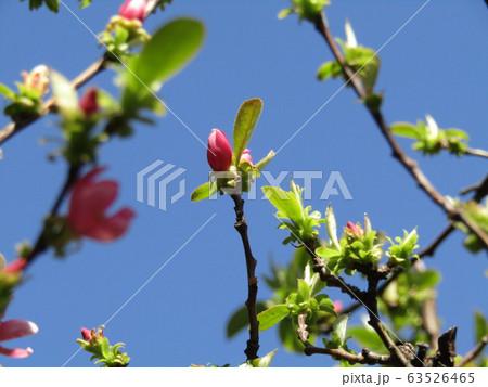 秋に実を沢山付けるカリンの桃色の蕾 63526465