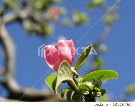 秋に実を沢山付けるカリンの桃色の花 63526466