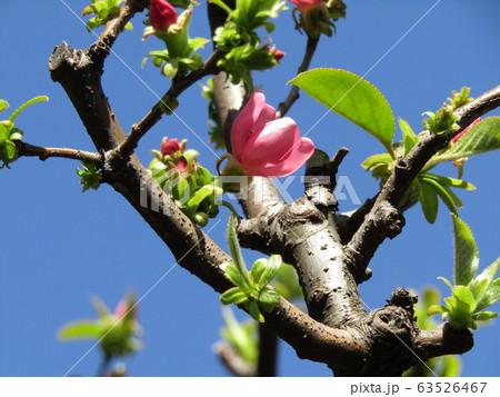 秋に実を沢山付けるカリンの桃色の花 63526467