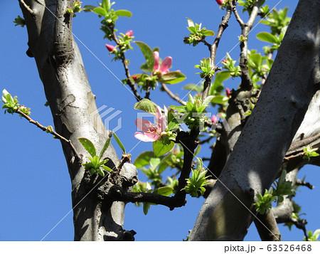 秋に実を沢山付けるカリンの桃色の花 63526468