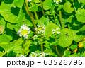 わさびの花 わさび田 【長野県】 63526796