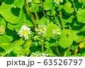 わさびの花 わさび田 【長野県】 63526797
