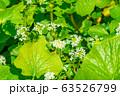 わさびの花 わさび田 【長野県】 63526799