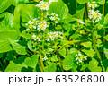 わさびの花 わさび田 【長野県】 63526800