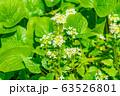 わさびの花 わさび田 【長野県】 63526801