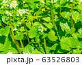 わさびの花 わさび田 【長野県】 63526803
