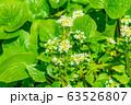 わさびの花 わさび田 【長野県】 63526807