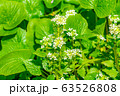 わさびの花 わさび田 【長野県】 63526808