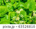 わさびの花 わさび田 【長野県】 63526810