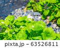 わさびの花 わさび田 【長野県】 63526811
