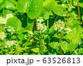 わさびの花 わさび田 【長野県】 63526813