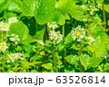 わさびの花 わさび田 【長野県】 63526814