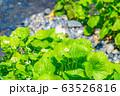 わさびの花 わさび田 【長野県】 63526816
