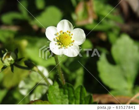 この白い花は赤い実になるイチゴの花 63527841