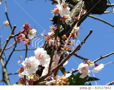 白い花が見ごろを過ぎ赤い実を付け始めた梅 63527842