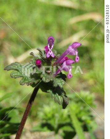 道端に咲くホトケノザの紫色の花 63528310