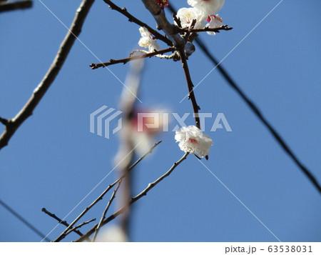 白い花が見ごろを過ぎ赤い実を付け始めた梅 63538031