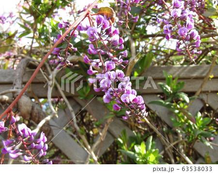 この紫色の花のつる性植物はハーデンベルギア 63538033