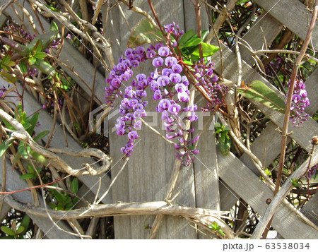 この紫色の花のつる性植物はハーデンベルギア 63538034