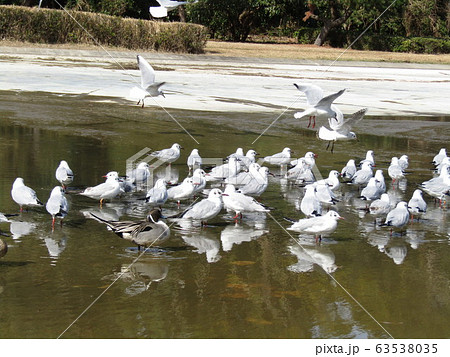 稲毛海浜公園に来た冬の渡り鳥ユリカモメ 63538035