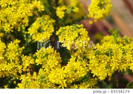 春、黄色い小さい花一杯のゴールデンクラッカー 63538174