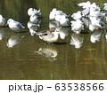 稲毛海浜公園に来た冬の渡り鳥オナガガモとユリカモメ 63538566