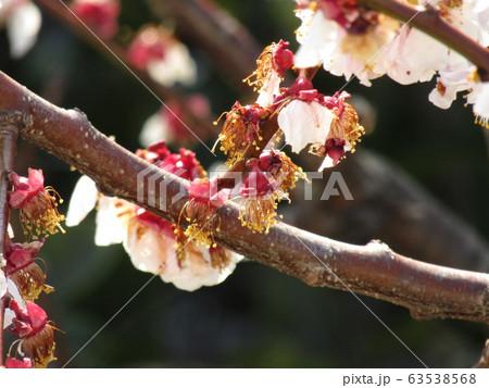 白い花が見ごろを過ぎ赤い実を付け始めた梅 63538568