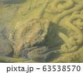卵を守るアズマヒキガエル 63538570