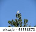 黒松の先端で羽を休めるアオサギ 63538573