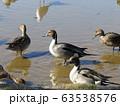 稲毛海浜公園に来た冬の渡り鳥オナガガモとユリカモメ 63538576