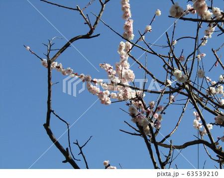 白い綺麗な花は梅の花 63539210
