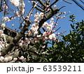白い綺麗な花は梅の花 63539211