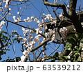 白い綺麗な花は梅の花 63539212