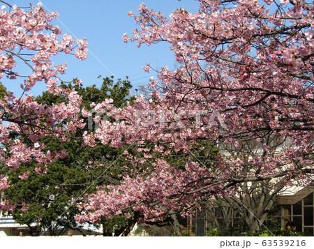 満開になった稲毛海岸駅前の河津桜の蕾 63539216