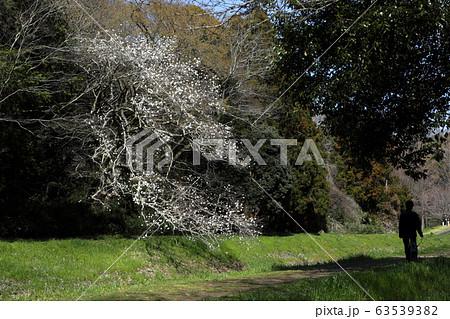 ロマンチック茨城(あたたかい陽射しの散歩道、小川の岸で笑顔を振りまく可憐なこぶしの花達。)水戸市千波 63539382