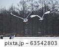 タンチョウの飛び立ち(北海道・鶴居) 63542803