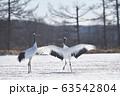 タンチョウのダンス(北海道・鶴居) 63542804