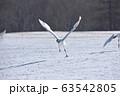 飛び立つタンチョウ(北海道・鶴居) 63542805
