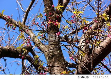 妙正寺川沿いに咲くカンヒザクラ(2) 63547072