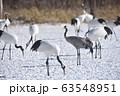 タンチョウの中に紛れ込んだクロヅル(北海道) 63548951