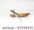 ヒメカマキリ 63549432