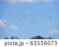 着地するタンチョウの群れ(北海道・鶴居) 63556073