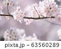 桜 63560289