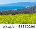 吾妻山公園から見た相模湾と満開の菜の花 63560290