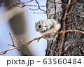エゾモモンガ 63560484
