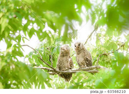 2羽並ぶフクロウの雛 63566210