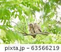 2羽並ぶフクロウの雛 63566219