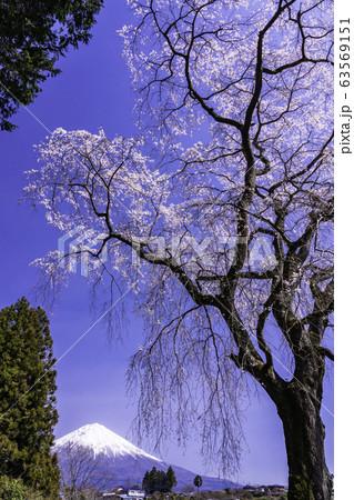 (静岡県)富士宮市・千光寺の枝垂れ桜と富士山 63569151