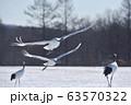 タンチョウ親子の飛び立ち(北海道・鶴居) 63570322